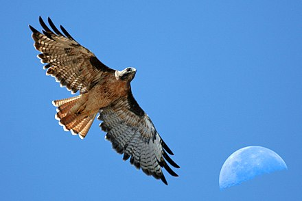 Red-tailed Hawk with moon over Estero Bay CA Red-tailed Hawk with moon over Estero Bay CA - composition red-tail-moon-composite-2630s (323660913).jpg