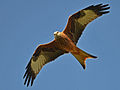 Red Kite (Not captive).jpg