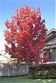 Red Maple Crimson Shadow.JPG