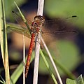 Red Orange Dragonfly 6 (3877755095).jpg