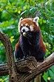 Red Panda (26245550479).jpg