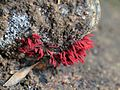 Red Slime Mould - Flickr - treegrow (5).jpg