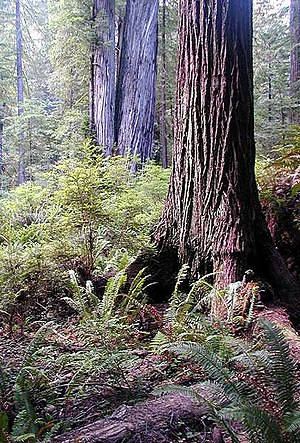 Sequoia sempervirens in Redwood National Park