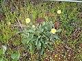 Reichardia ligulata (Barlovento) 03 ies.jpg