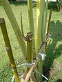 Rejet de bambou.jpg