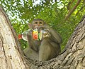 Rhesus Macaque with bottle, Agra, India.jpg