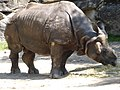 Rhinoceros-unicornis-1.jpg