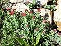 Rhodiola integrifolia (3764972368).jpg