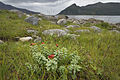 Rhodiola rosea in Rekvik, Kvaløya, Troms, Norway, 2014 August.jpg