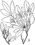Rhododendron arborescens BB-1913.png