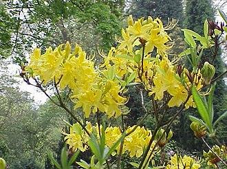 Grayanotoxin - Rhododendron luteum