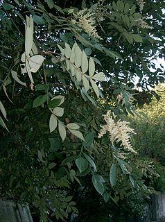 <i>Rhus chinensis</i> species of plant