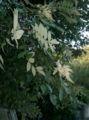Rhus javanica var chinensis2.jpg