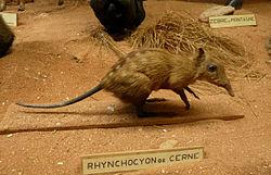 Rhynchocyon de Cerne.jpg