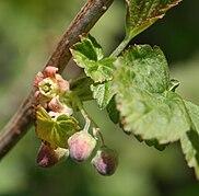 Ribes nigrum mustaherukka kukka.jpg