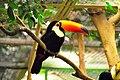 Riesentukan (Toco Toucan) Weltvogelpark Walsrode 2010.jpg