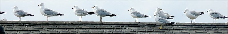800px Ring billed Gulls on rooftop