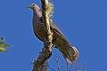 Ring-tailed Pigeon (Patagioenas caribaea) (8082135543).jpg