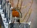Robin on Railings.jpg