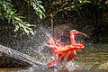 Rode Ibis in Bad, GaiaZOO.jpg