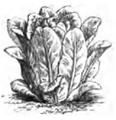 Romaine pomme en terre Vilmorin-Andrieux 1883.png