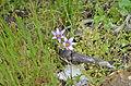 Romulea columnae 1007.jpg