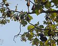 Roosting Indian Flying Foxes. Pteropus giganteus - Flickr - gailhampshire.jpg