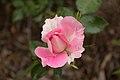 Rosa 'Carefree Wonder' IMG 0157.jpg
