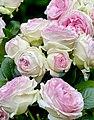 Rosa 'Eden 85' Rosengarten Köln 2017 08.jpg