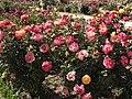 """Rosa """"Flaming Star"""" o KORtaltal. 05.jpg"""