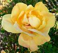 Rosa Lady Forteviot 3.jpg