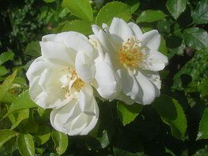ADR rose - Image: Rosa Schneeflocke 1991