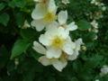 Rosa fujisanensis.jpg