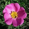 Rosa gallica sl28 (cropped).jpg