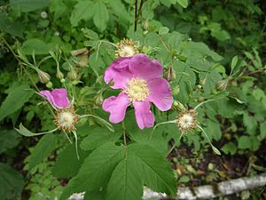 Rosa nutkana - Nootka rose showing diagnostic sepals