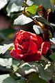 Rose, Leonidas - Flickr - nekonomania (1).jpg