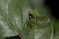 Rose, Lido di Roma(Leaves) ^ Bug - Flickr - nekonomania.jpg