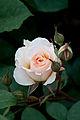 Rose, Moonsprite - Flickr - nekonomania (4).jpg