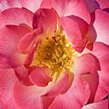 Rose Caprice teahibrid Crop.jpg