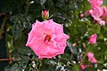 Rose Ramira 20070601.jpg