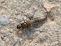 Rove Beetle possibly Ocypus aeneocephalus. Staphylinidae (36962827003).jpg