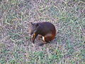 Royale agouti close.jpg