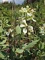 Rubus canescens kz03.jpg