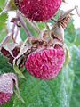 Rubus odoratus - Tuoksuvatukka, Rosenhallon, Purple-flowered raspberry C 20151008 081546.jpg