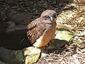 Rufous Owl CW.jpg
