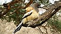 Rufous Treepie, The most photogenic bird ever!.jpg