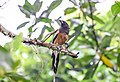 Rufous treepie-Dendrocitta vagabunda.jpg
