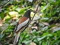 Rufous treepie (Dendrocitta vagabunda) 01.jpg
