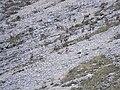 Rupicapra pyrenaica ornata 4.jpg