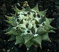 SDC11400 - Ariocarpus trigonus.JPG